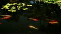莲花 鲤鱼 花茎 8091421