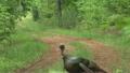 Wild Turkey 8182730