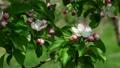 りんごの花 8195680