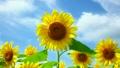 向日葵 花朵 花 8195697