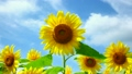 向日葵 花朵 花卉 8195697