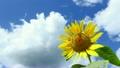 向日葵 花朵 花 8195698