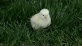 Baby white chicken chirp on grass P HD 9994 8249430