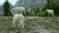 Goat family mountain forest P HD 0593 8249826