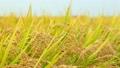 稻田 玉米 穀類 8274248
