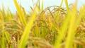 稻田 玉米 穀類 8274249