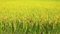 乡村风光 农村场景 水稻作物 8274250