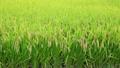 稲穂(収穫直前)朝のイメージ 8274255