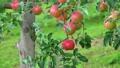 木に実るりんご 8274256
