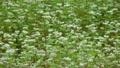 ソバ畑 8721393