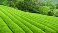 新芽の茶畑 静岡 8721401