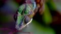 变色龙 爬行动物 蜥蜴 8988206