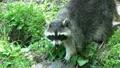 Raccoon Walking in Daylight 9864044