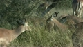 Impala Feeding at Kruger National Park in South Africa 9864230