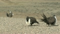 Sage Grouse Males on Road in Great Plains 9864234