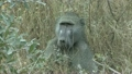 Baboon Feeding in Grass at Kruger National Park in Africa 9864235