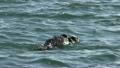 Sea Otter in Ocean Rolling in California of North America 9864239