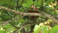 Scarlet Macaw in Costa Rica Jungle 9864241