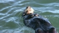 Sea Otter Swimming in California Rolling in Water 9864250