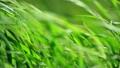 잡초, 식물, 잔디 10053017