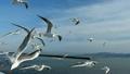 海鷗/高速拍攝·慢動作播放2 10060365
