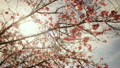 Time Lapse of Cherry Blossoms over Sun 10145739