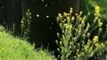 桜吹雪 春 菜の花の動画 10298684