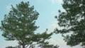 松樹 10398750