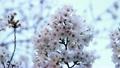 sakura, botanicals, vegetative 10448670