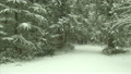 Pine trees and snow covered road in winter, Hockinson, Washington 10449782