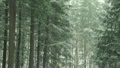 Snow fall in a forest during the winter, Hockinson, Washington 10449783