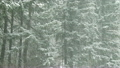 Pine trees covered in snow during a winter storm, Hockinson, Washington 10449784