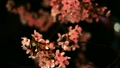 cherry blossoms at night, cherry trees in the evening, botanicals 10490643