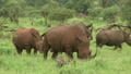 White rhinoceros family is grazing in a bush 10520925