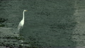 White Heron Standing in Shallow Water 10664159