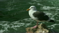 A seagull sitting on a rock by the Pacific Ocean in Morrow Bay California 10664162