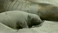 A young Elephant seal flipping sand on  its back, Big Sur, California 10664163