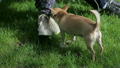 Chihuahua dog sniffs sneakers 1080p 10738241