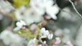 Cherry blossoms in spring full bloom 10754664