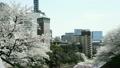 치도리가 후치 바람에 흔들리는 벚꽃 10888062