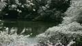 치도리가 후치 바람에 흔들리는 벚꽃 10888065