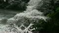 치도리가 후치 바람에 흔들리는 벚꽃 10888066