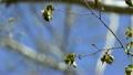 キビタキ 黄鶲 木の動画 10926532