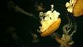 クラゲの泳ぎ アカクラゲ 11042368