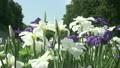 花しょうぶ 11071325