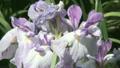 花しょうぶ アップ 11071326