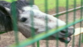 horse behind a fence at the zoo, close up 11450633