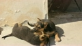 cute little dogs puppies playing 11684340