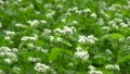 そばの花 11920230