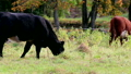 037_Cows_grazing_in_the_meadow 11980476